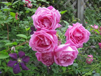 American Beauty Roses