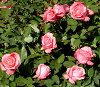 Belindas Dream Roses