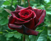 Black Magic Red Rose Images