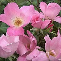 Blushing Knockout Roses