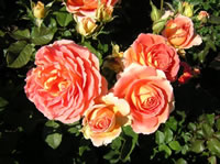Brass Band Roses