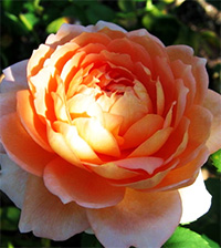Carding Mill Roses
