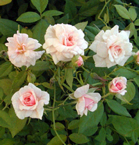 Cecile Brunner Climbing Roses