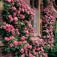 Climbing Rose Bushes
