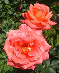 Colour Wonder Roses