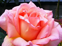 Compassion Roses