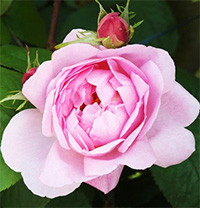 Constance Spry Roses