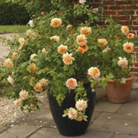 Growing Roses in Containers
