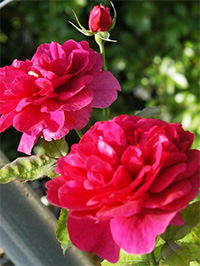 Darcey Bussell Roses