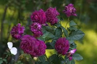 Dark Purple Roses