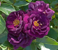 Deep Purple Roses - Midnight Blue