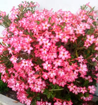 Desert Rose Plant Care