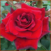 Don Juan Red Rose Images