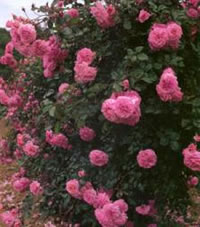 Dream Weaver Roses
