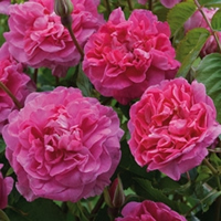 English Garden Roses - Englands Rose