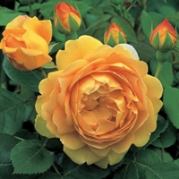 English Garden Roses - Golden Celebration