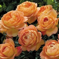 English Garden Roses - Lady of Shalott