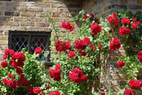 Fragrant Climbing Roses