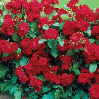 Freedom Hedge Roses