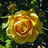 Golden Celebration Roses