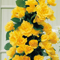 Golden Showers Roses