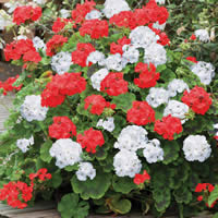 Growing Geraniums Outdoors