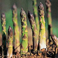 Growing Harvesting Asparagus