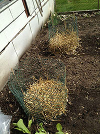 Growing Potatoes in Straw