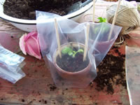 Growing Roses From Cuttings