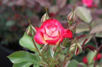How To Plant Roses