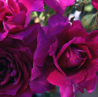 Intrigue Roses