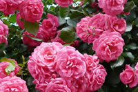 Landscaping Ideas with Roses