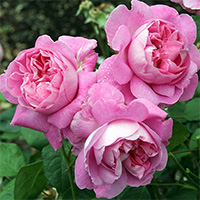 Mary Rose Roses