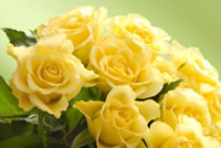 Meaning of a Yellow Rose