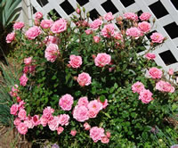 Miniature Rose Bushes