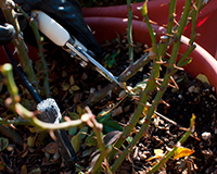 Miniature Rose Pruning