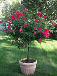Miniature Rose Trees