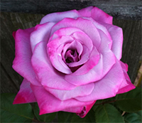 Passion Roses