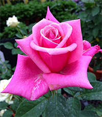 Perfume Delight Roses