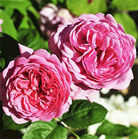 Princess Alexandra of Kent Roses