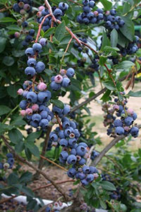 Pruning Blueberry Bushes