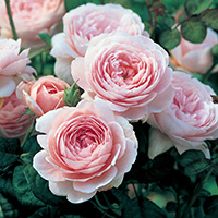 Queen of Sweden Roses