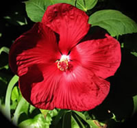 Red Rose of Sharon Bushes