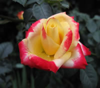 Sheer Magic Red Rose Images