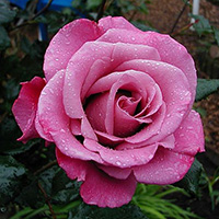 Shocking Blue Roses