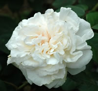Sombreuil Roses