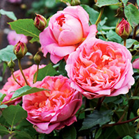 Strawberry Hill Roses