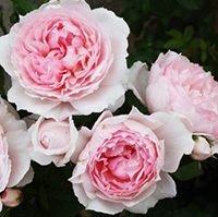 The Wedgwood Roses