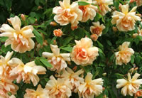 Thornless Climbing Roses