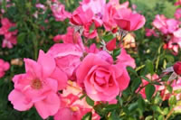 Types of Roses - Lady Elise May